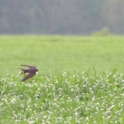 Barn swallows and red wing blackbird