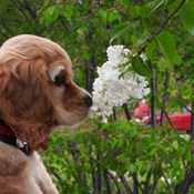 Bella and a lilac