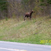 Moose along the road