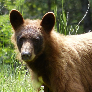 Brown bear with black face