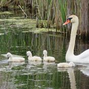 Mute swans with mom