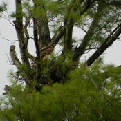 Red Tail Hawk Nesting