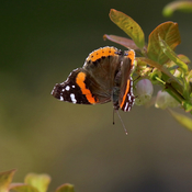 Red-Admiral Butterfly