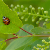 Lady bug, Elliot Lake.