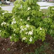 Chinese Dogwood in Bloom