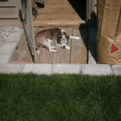 Mojo the deaf Boglen is taking in the rays after a hard day trolling the yard.