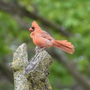 Cardinal visited my backyard