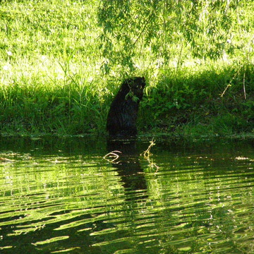 Buckey on our pond