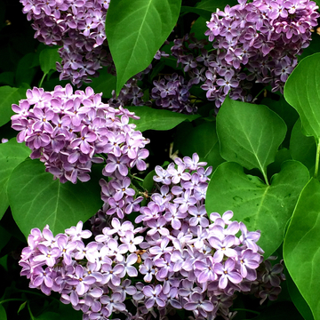 Purple flowers in joy with green leaves