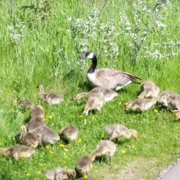 feeding time only got half of the gosling