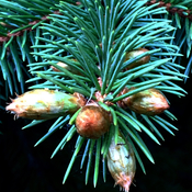 Pine tree enjoy weather