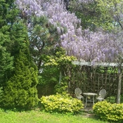 Beautiful wisteria cascading in backyard garden!!