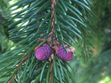 Pine cone tree - Niagara Falls, ON, CA