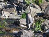 Blue Heron - Kamloops B.C.
