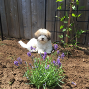 Puppy helping in the lavender garden