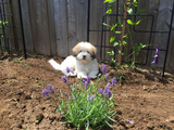 Puppy helping in the lavender garden  - Hamilton, ON, CA