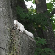 Resident white squirrel makes an appearance