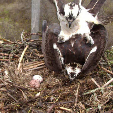 Ospreys in love