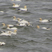 Northern Gannets in the Bay of Chaleur