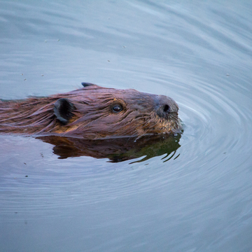 Beaver swimming by