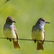 Great Crested Flycatchers