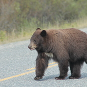 Brown Bear on the Klondike Highway