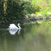 Swan Enjoying Flood