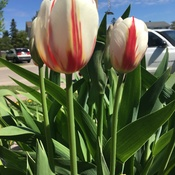 Canada Day 150 Tulips.