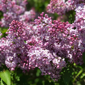 Lilac time smells good