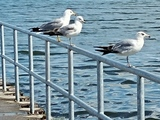 Seagulls  - Etobicoke, ON
