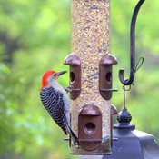 Red Bellied Woodpecker.
