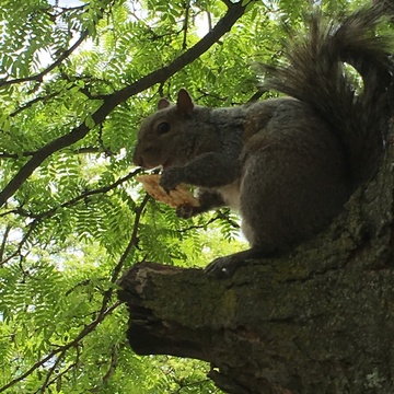 Squirrel eating a cracker