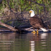 Osprey, Bald Eagle