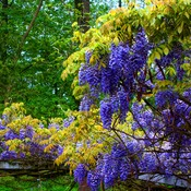 Norfolk County Chinese Wisteria