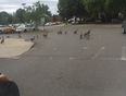 Geese blocking traffic at Bayview and John in the parking lot