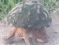 Strolling Snapping Turtle