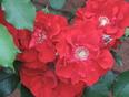 Summer Rose Bloom