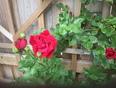 rose - Waterdown, ON