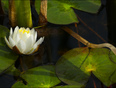 New water lily, Elliot lake.