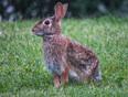 Rabbit - Mississauga, ON