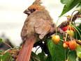 Juvenile Cardinal - Toronto, ON