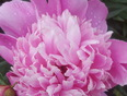 Rain and Peonies - 661-725 13th Line, Innisfil, ON L9S 3C8,