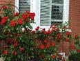 Roses - Brampton, ON