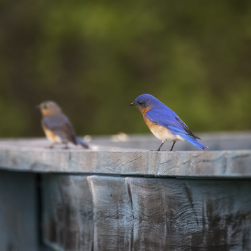 Eastern Bluebirds with a Young One