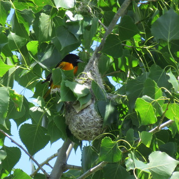 Weaver Nest by Baltimore Oriole