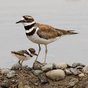 Killdeer and Goldeneye