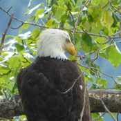 Grandpa bald eagle