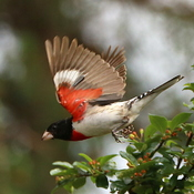 Grosbeak Wing Flash