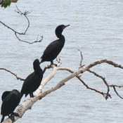 Cormorants sitting on a tree branch