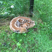 Baby fawn waiting mom